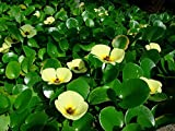 Hydrocleys Nymphoides Water Poppy Similar to Lily Pond Marginal...