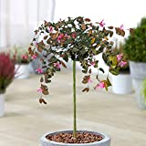 Loropetalum Chinense Fire Dance Tree   Evergreen Patio Trees for...