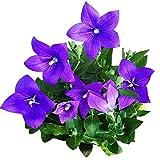 Blue Platycodon Seeds 50+ Balloon Flower Blue Platycodon...