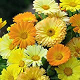 Calendula 'Fruit Twist' Seeds Hardy Annual Flowers Garden Plants...
