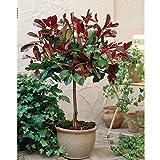 Photinia 'Little Red Robin' Tree Standard Plants Hardy Red...