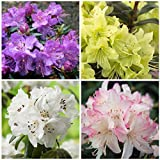 4 Plant Pack Mixed Dwarf Rhododendrons Evergreen Garden Shrub...