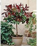 Photinia Red Robin Tree Standard Plants Hardy Red Evergreen...