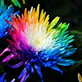 Rainbow Rare Chrysanthemum Flower Seeds Bonsai Planting Home...