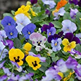 Viola Sorbet XP Mixed Garden Ready Pansy Sorbet Hardy Perennial...