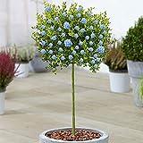 Ceanothus Victoria Tree   Evergreen Ornamental Trees for Small...