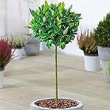 Standard Kitchen Bay Leaf Tree   Laurus 'Nobilis'   Evergreen...