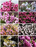 8 Plant Pack Winter Heather Variety Low Growing Ground Cover...
