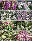 8 Plant Pack Mixed Hebe Evergreen Garden Shrub Colour Variety