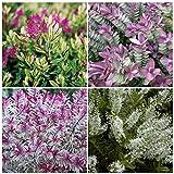 4 Plant Pack Mixed Hebe Evergreen Garden Shrub Colour Variety