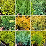 8 Pack   9cm Pots   Dwarf Slow Growing Mixed Conifers Small...