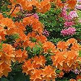 1 X Orange Azalea Japanese Evergreen Shrub Hardy Garden Plant in...