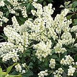 1 X PIERIS 'Debutante' Evergreen Shrub Hardy Garden Plant in P