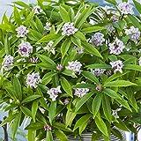 Daphne Perfume Princess Bushy Evergreen Fragrant Flowering...