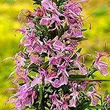 Rosmarinus Roseus Rosemary Evergreen Perennial Aromatic Flowering...
