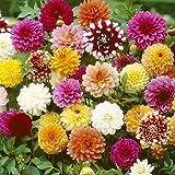 Dahlia Flower Seeds 30+ Giant Flower SeedsColorful Mixed Seeds...