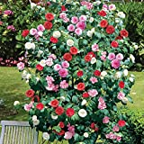 Camellia Tricolour Outdoor Plants Low Maintenance Hardy Evergreen...