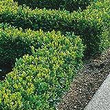 Box Hedging Plants 20-40cm Buxus Sempervirens Dense Evergreen...